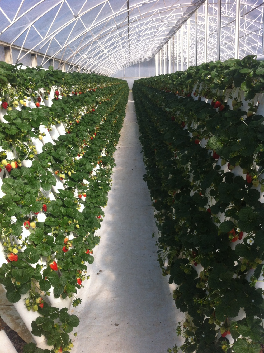 strawberry production in PVC pipes in Port Macquarie